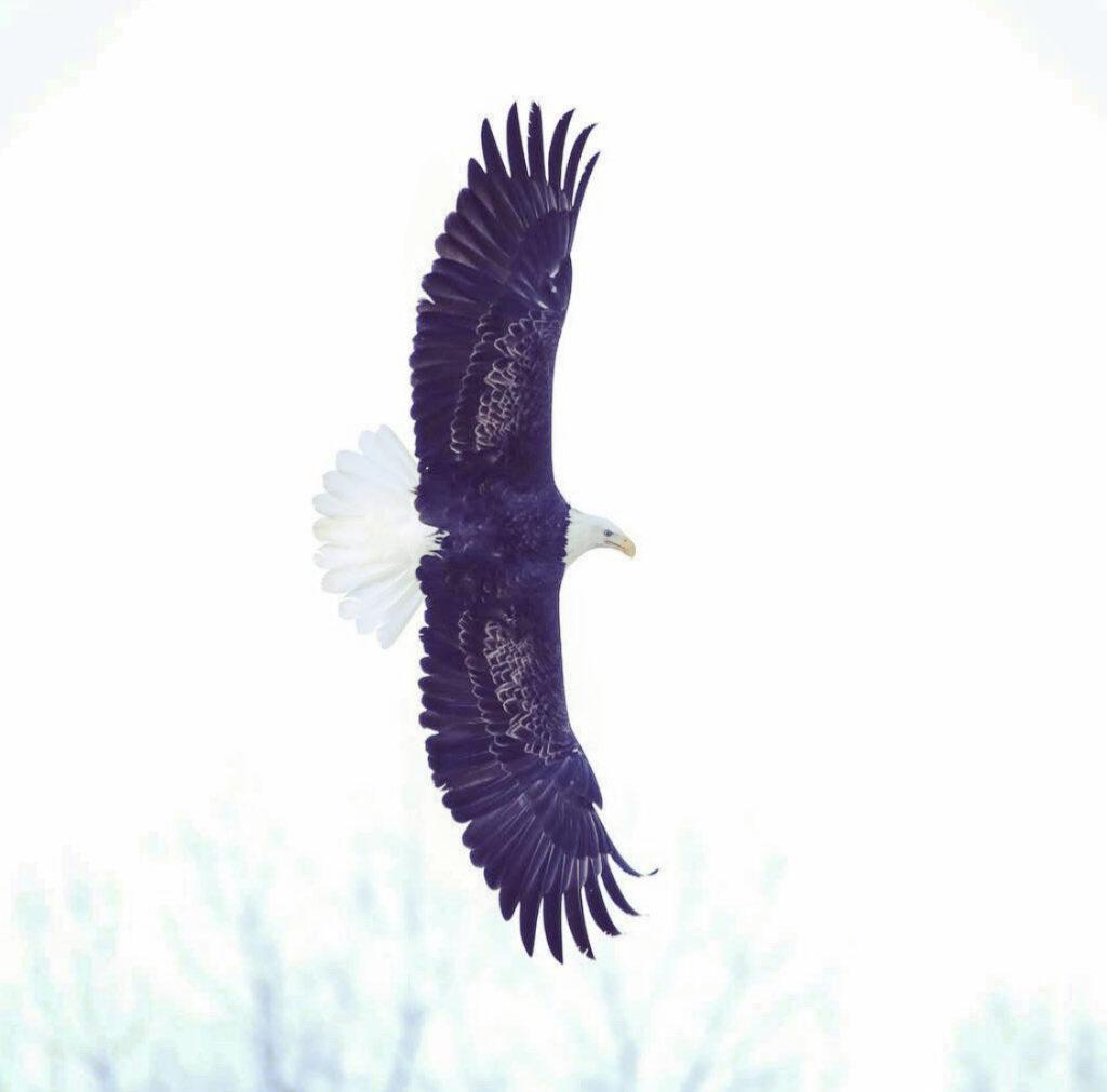 Eagle by Suraj