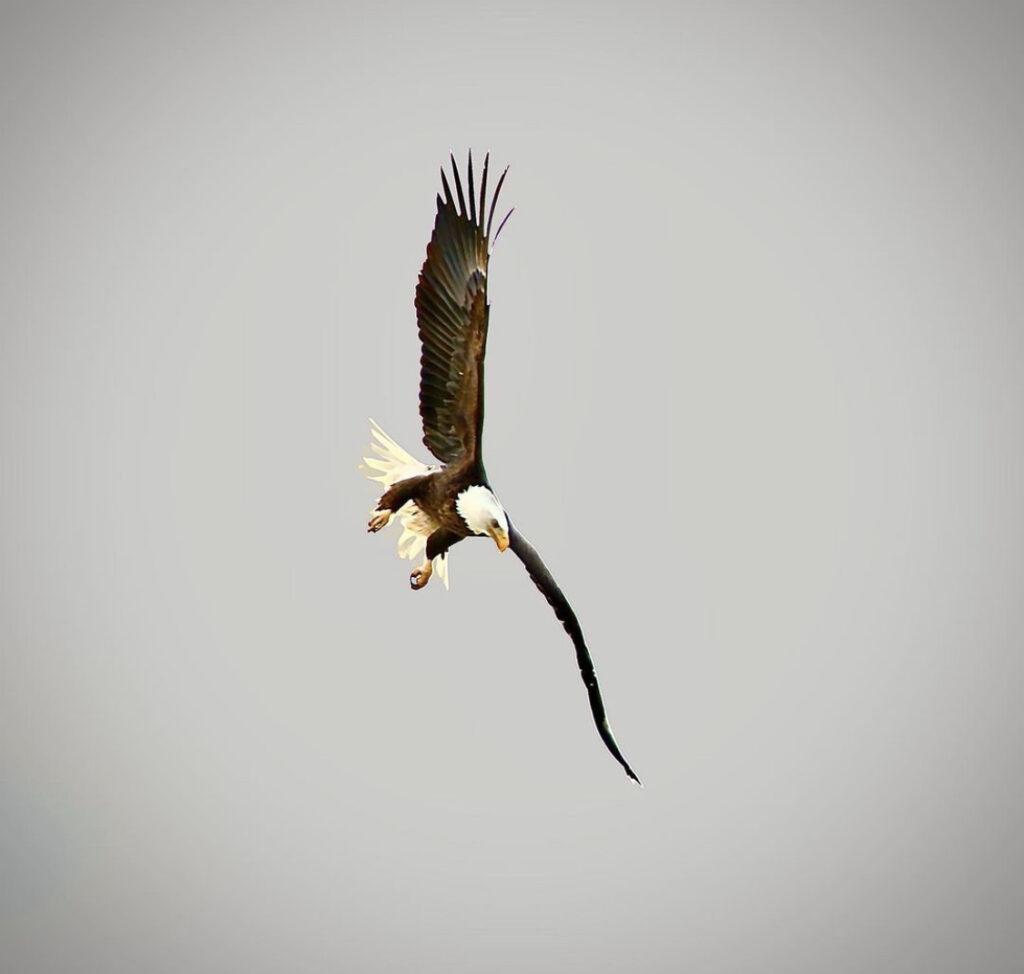 Eagle2 by Suraj