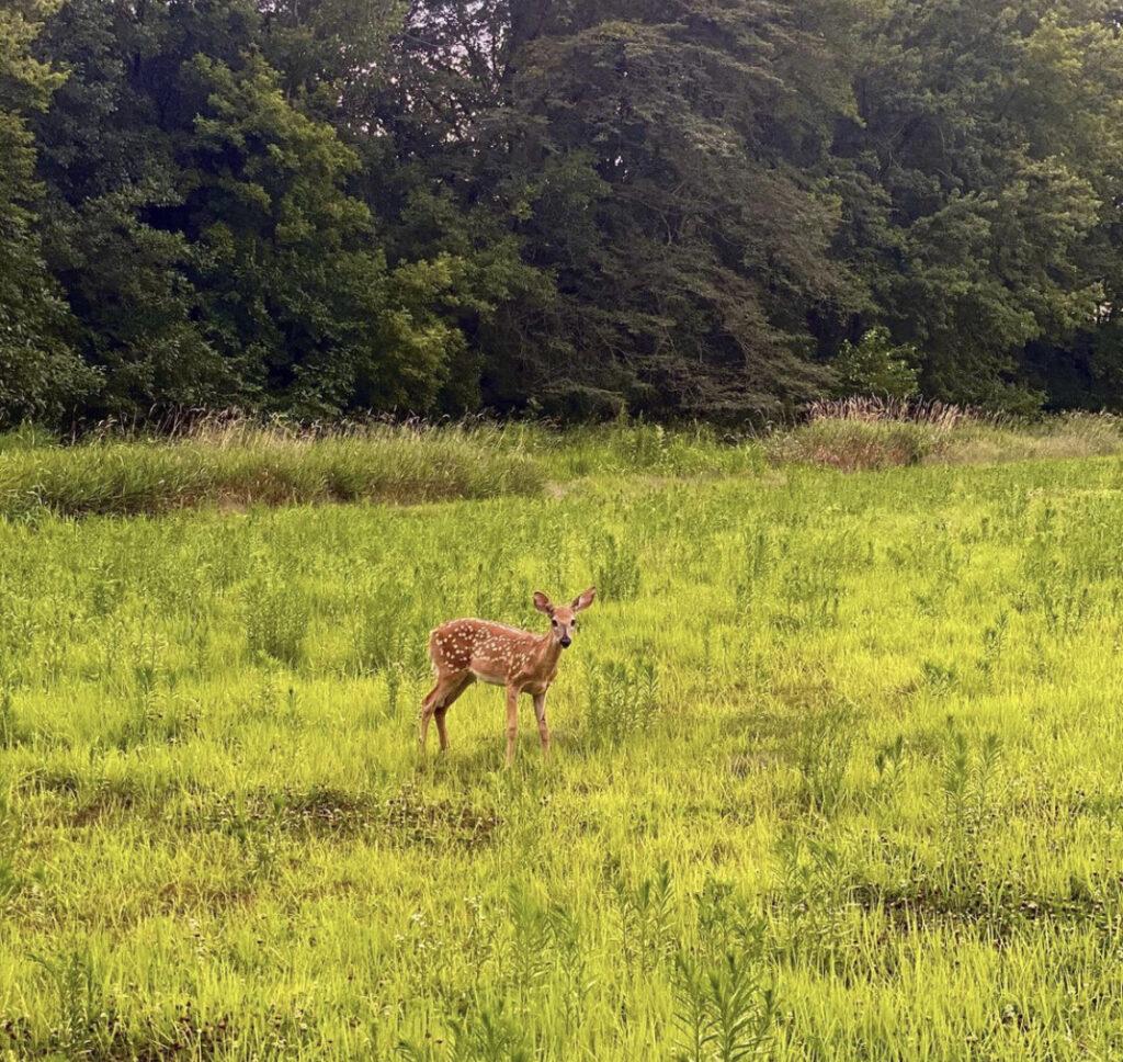 Deer by Suraj